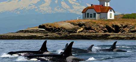 A pod of Orca Whales swimming along side the Cascade Mountain Range
