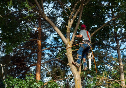 We climb to remove unwanted tree  branches