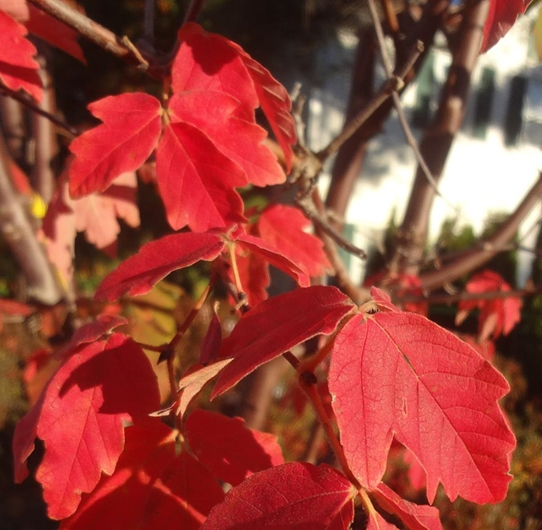 Glowing red foliage on a Paperbark Maple grown at Wanczyk Nursery, Hadley, MA