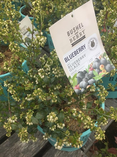 best blueberry plants hadley ma western ma flowers and annuals