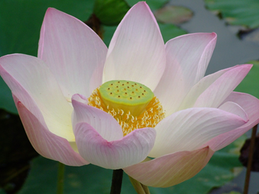 Lotus in full bloom