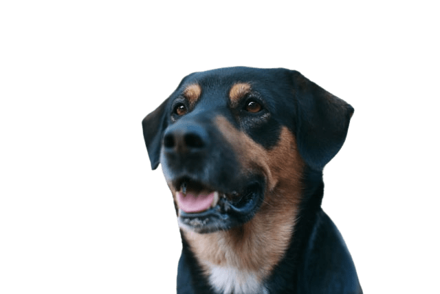 black mutt dog looking happy on transparent background