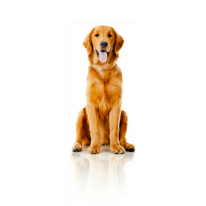 one golden retriever dog on white background