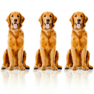 Three golden retriever dogs on white background