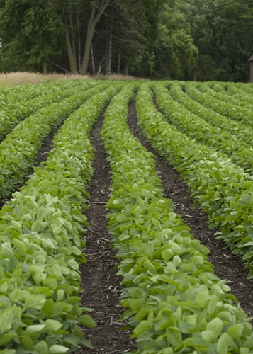 Soybeans are grown in the USA