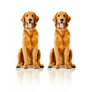two golden retriever dogs on white background