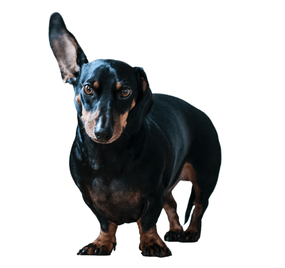 daschund with ear flipped up on transparent background