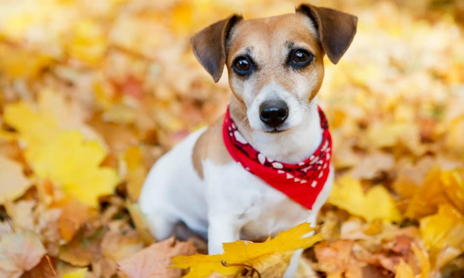 Jack Russell with red scarf sitting in autumn leaves