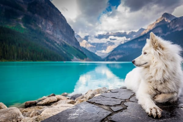 white dog relaxing by mountain lake